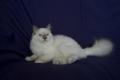 Birman macska Lila Pont SBI c